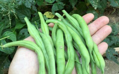 Guide to Blue Lake Bush Beans